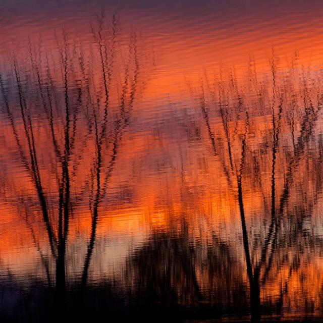 """Fiery Cottonwoods at Sunset"" stock image"