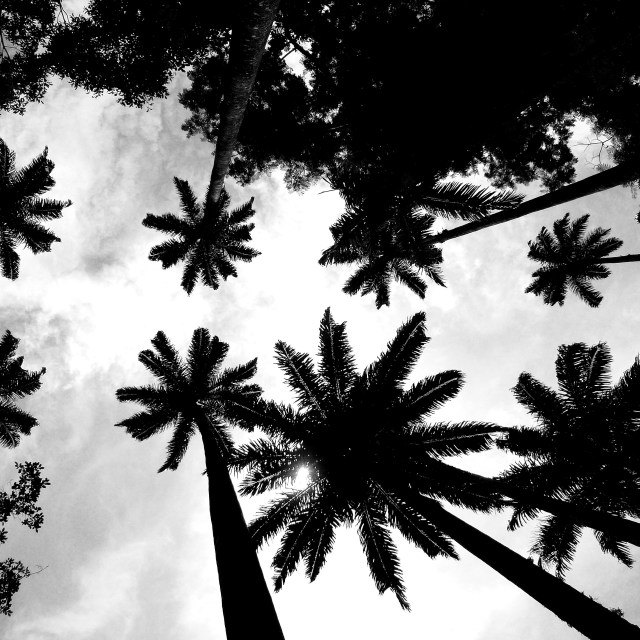 """Trees from below at Rio botanical gardens"" stock image"