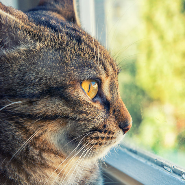 """Cat looks outside from the window"" stock image"