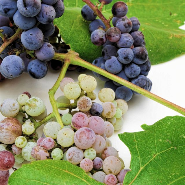 """Wild Grapes"" stock image"