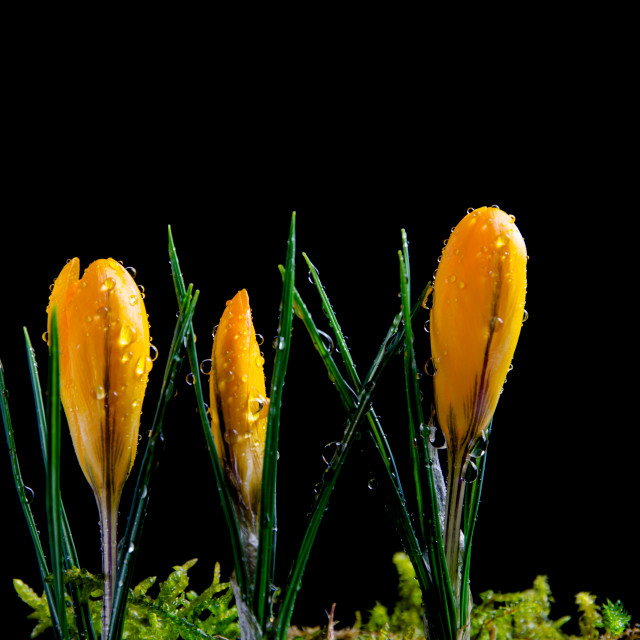 """""""Crocus buds with water drops"""" stock image"""