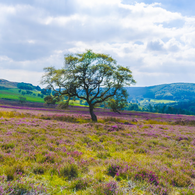 """Amongst the Heather"" stock image"
