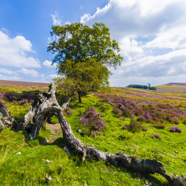 """On The Heather Moor"" stock image"