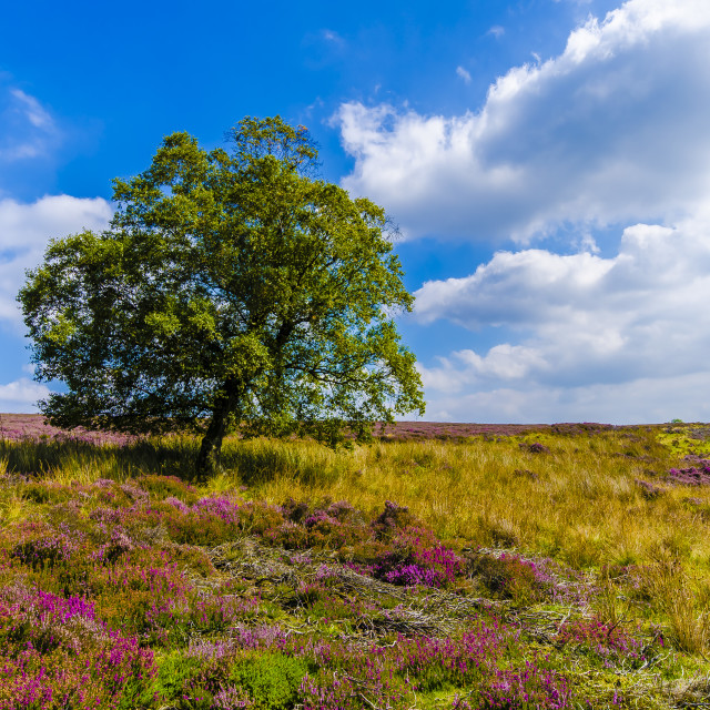 """Heather North Yorks Moors"" stock image"