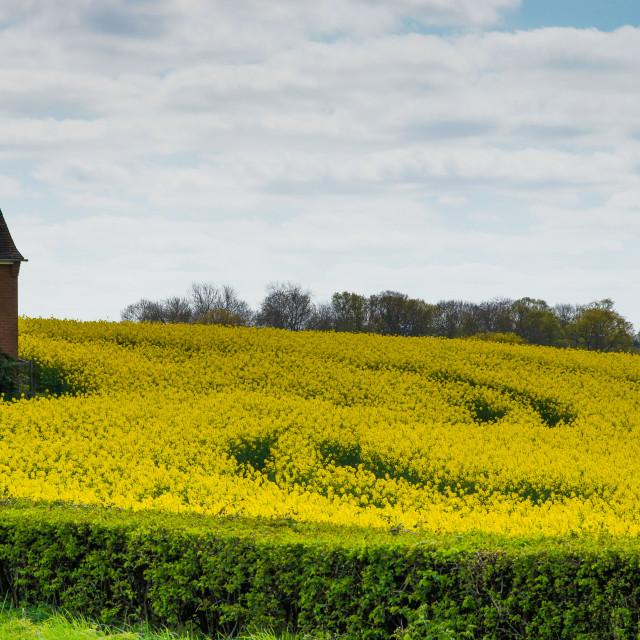 """Sea of Yellow"" stock image"