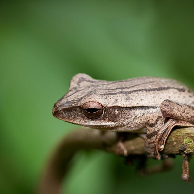 """""""Malaysia Frog"""" stock image"""