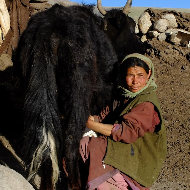 """Ledakhi woman milking a Yak"" stock image"