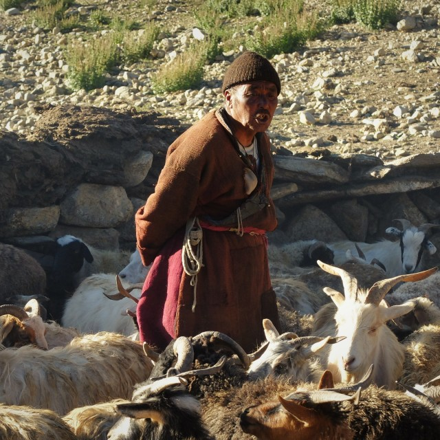 """Man tending his goats -Ladakh"" stock image"