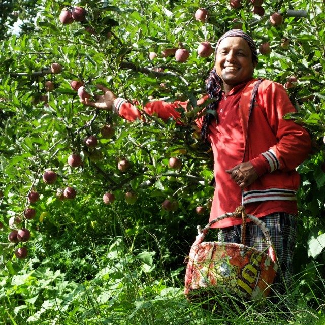 """Picking apples in Manali India"" stock image"