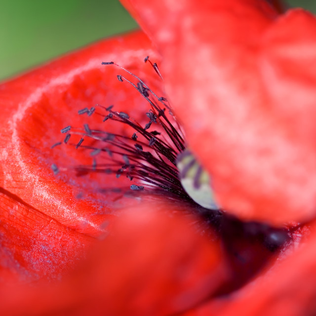 """Poppy Macro"" stock image"