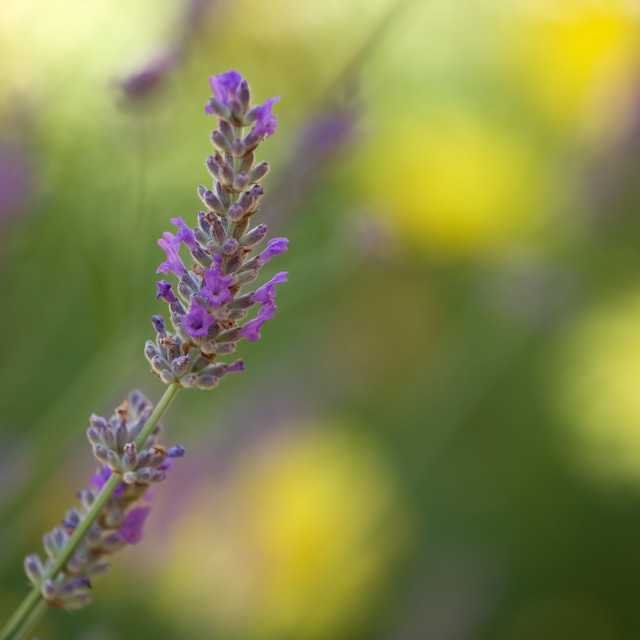 """Lavender flowers background"" stock image"