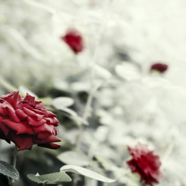 """Rose Bush artistic toned"" stock image"