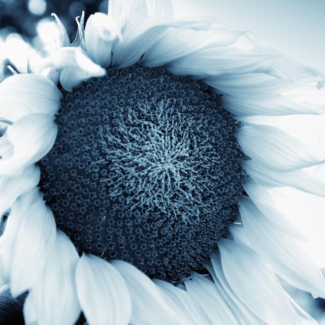 """""""Beautiful sunflower close up , retro style toned photo"""" stock image"""