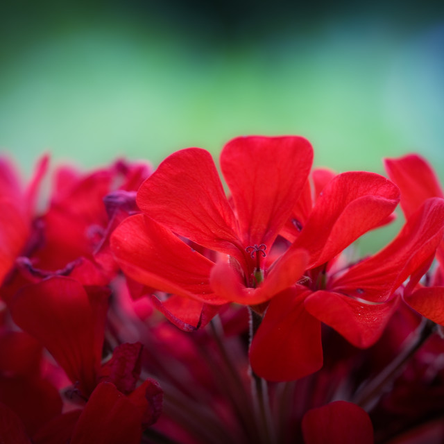 """Colorful flower macro photo with shallow DOF"" stock image"