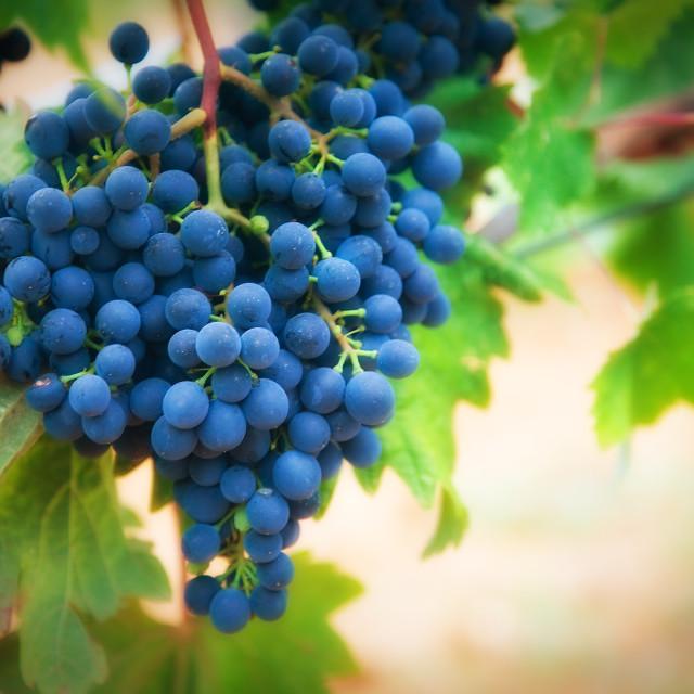 """Vineyard"" stock image"
