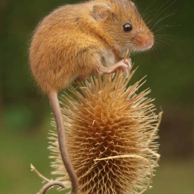 """""""Thistle Harvest Mouse"""" stock image"""