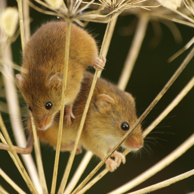 """Harvest Mouse duo"" stock image"