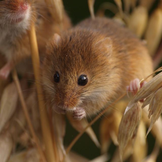 """Barley Harvest Mouse"" stock image"