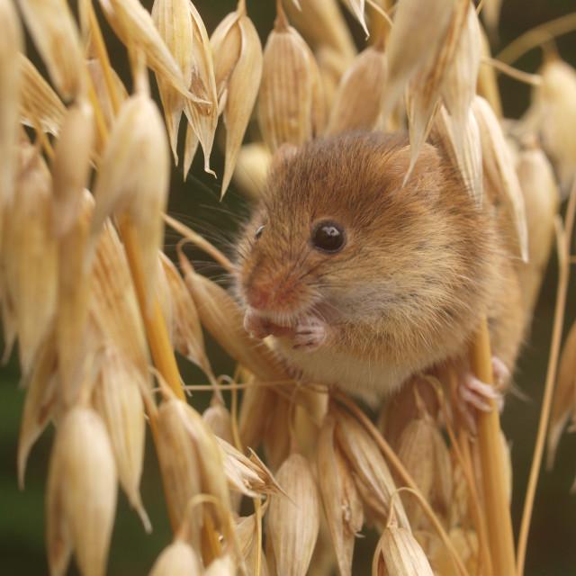 """Barley snack"" stock image"