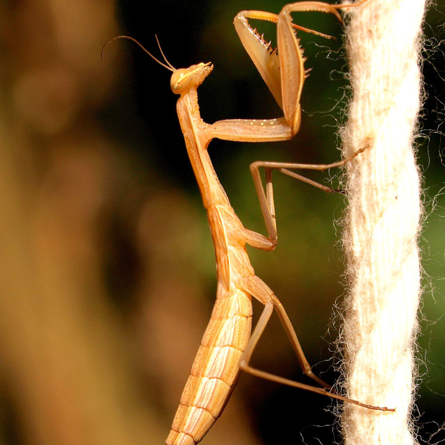 """mantis bug"" stock image"