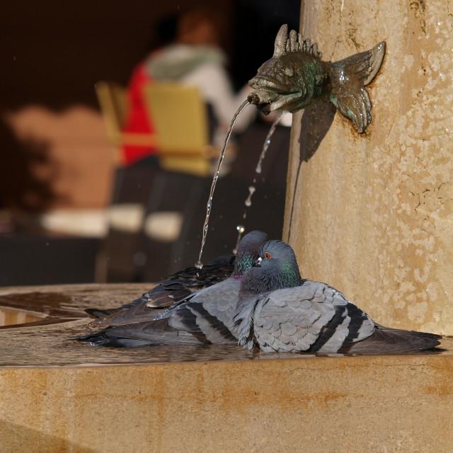 """pidgeon in the fountain"" stock image"