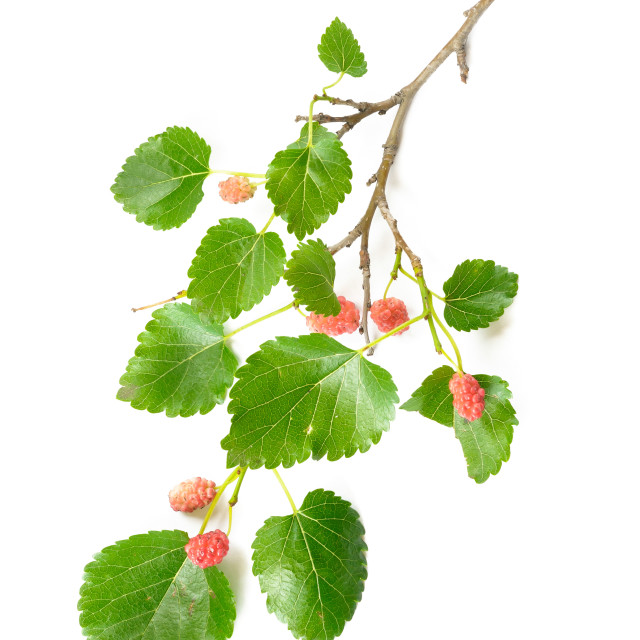 """Mulberry Tree Branch with Fruits"" stock image"