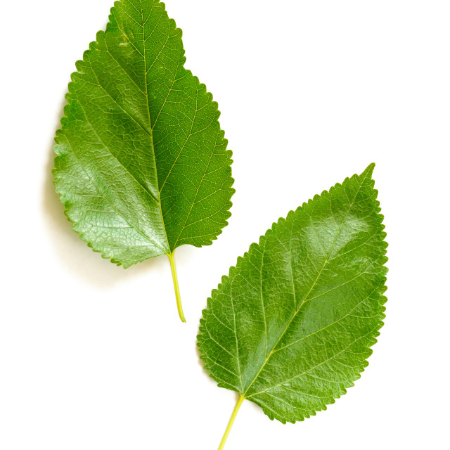 """Mulberry Tree Leaves"" stock image"