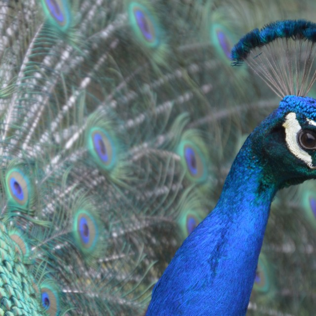 """Peacock."" stock image"