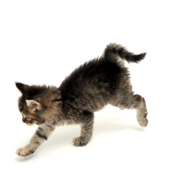 """Gray Kitten Running"" stock image"