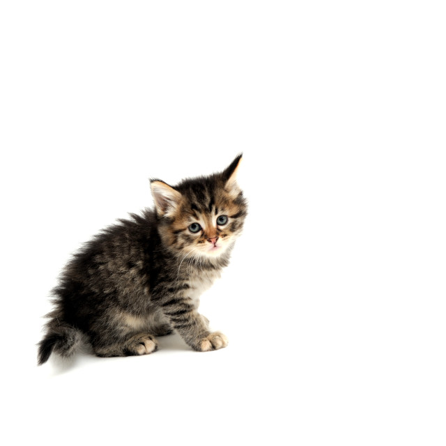 """Gray Kitten On White Background"" stock image"