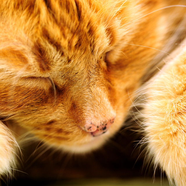 """Sleeping Orange Cat"" stock image"