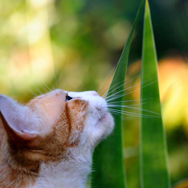 """Curious Orange And White Cat"" stock image"