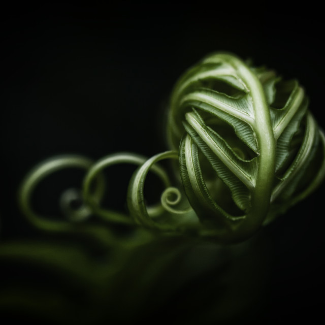 """Fern Tendrils"" stock image"