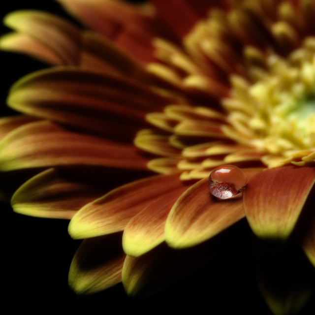 """Macro photograph of a Waterdrop on a Gerbera Daisy"" stock image"
