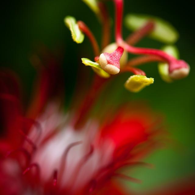 """Passiflora flower"" stock image"