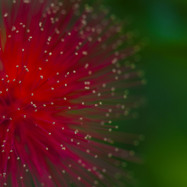 """Calliandra"" stock image"