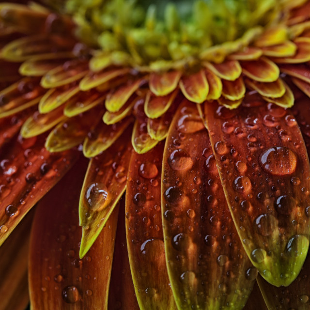 """Gerbera Daisy with water drops"" stock image"