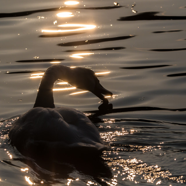 """Swan at sunset"" stock image"