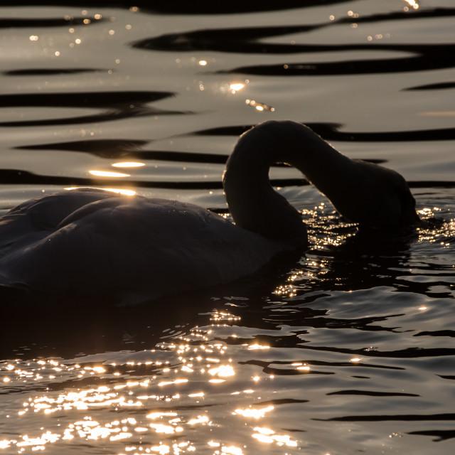 """Sunset swan"" stock image"