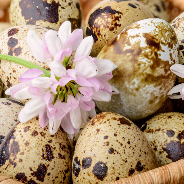 """""""Quail Eggs and Clover"""" stock image"""