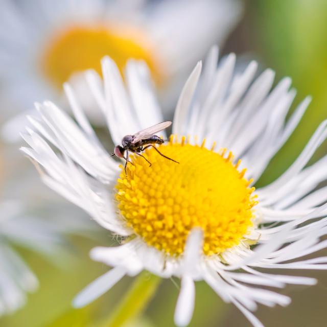 """Mosquito on Daisy"" stock image"