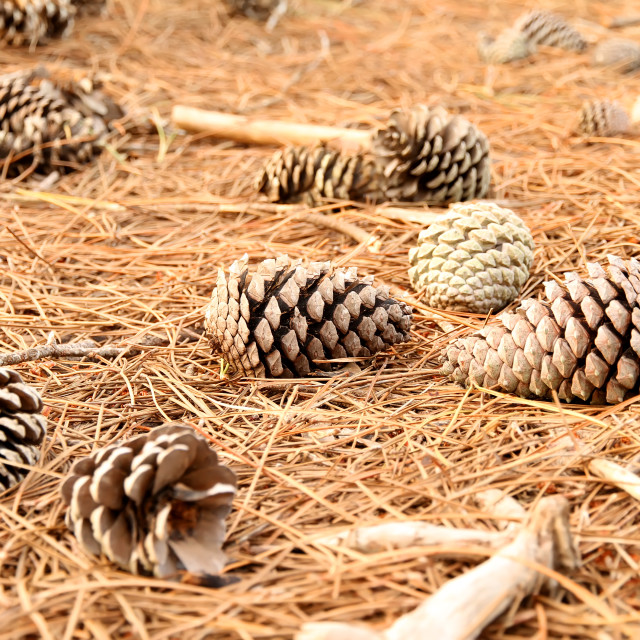 """Fir Cones on the ground"" stock image"