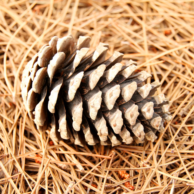 """Fir Cone"" stock image"