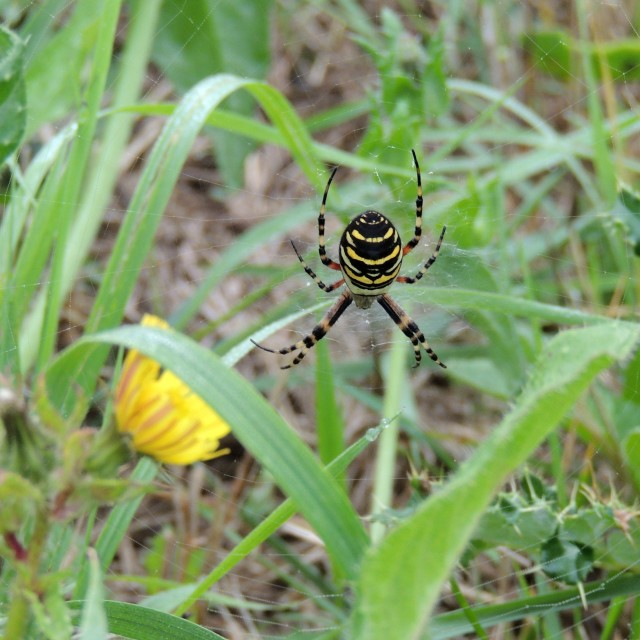 """""""Wasp Spider"""" stock image"""