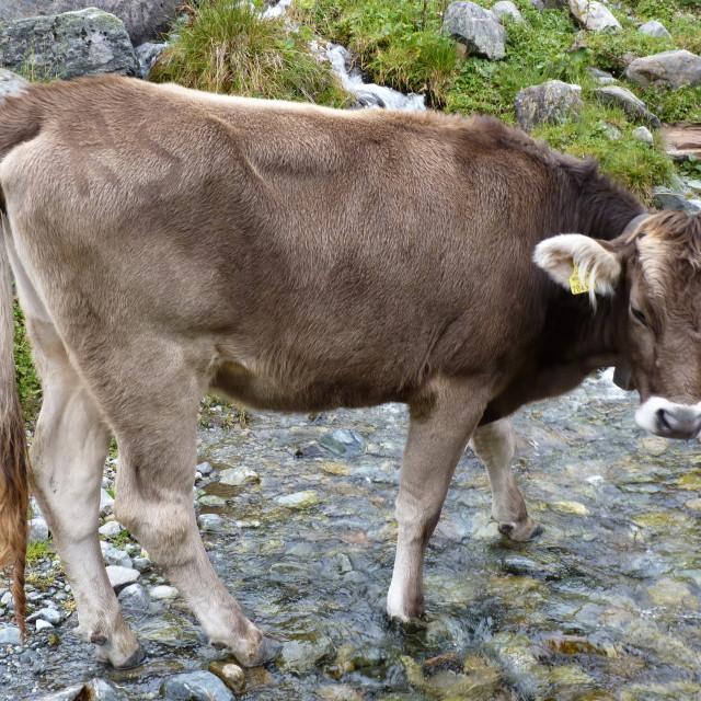 """Paddling Cow"" stock image"