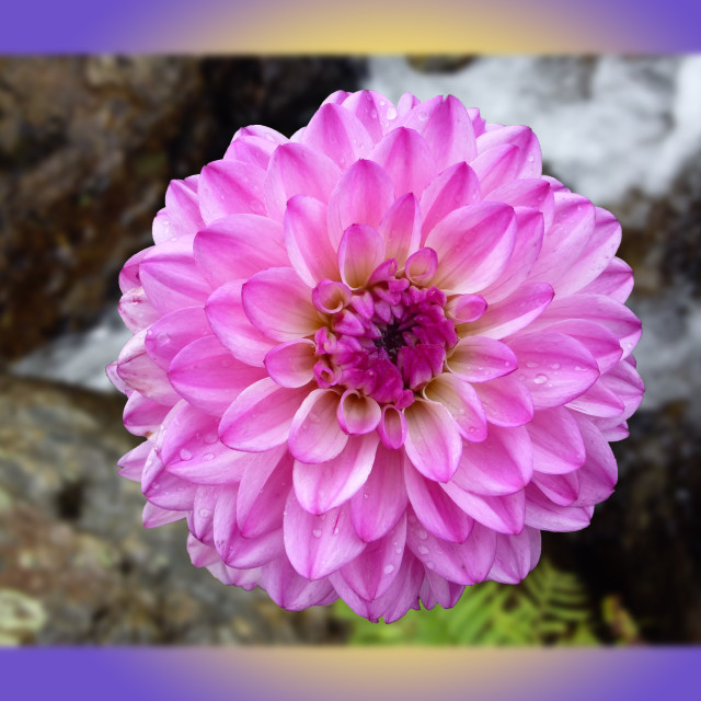 """Pink Dahlia in river"" stock image"