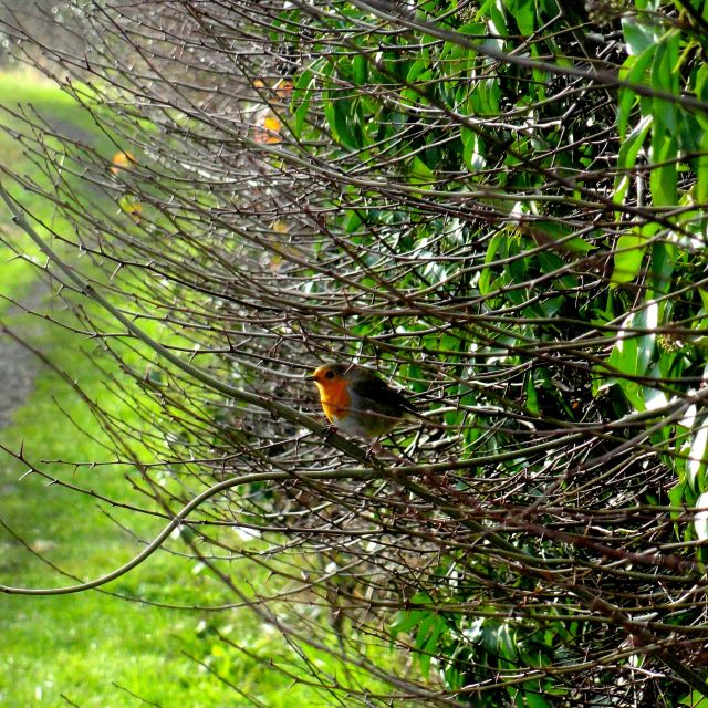 """Robin in the bush"" stock image"
