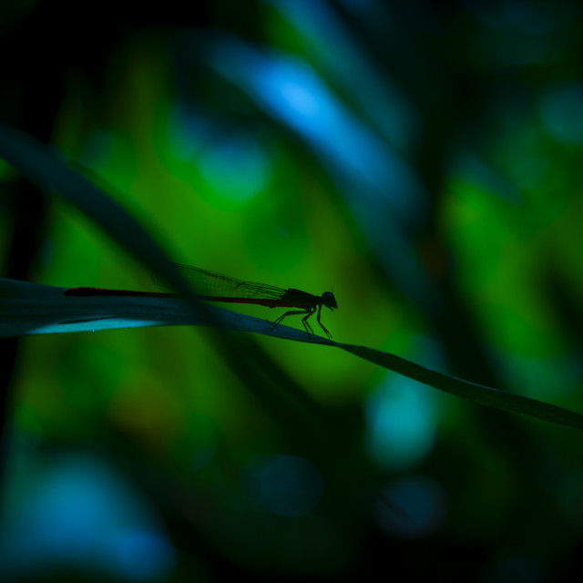 """Silhouette of a Damselfly"" stock image"