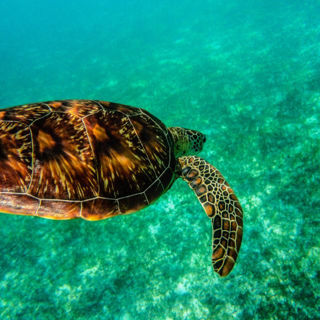 """Swimming turtle"" stock image"