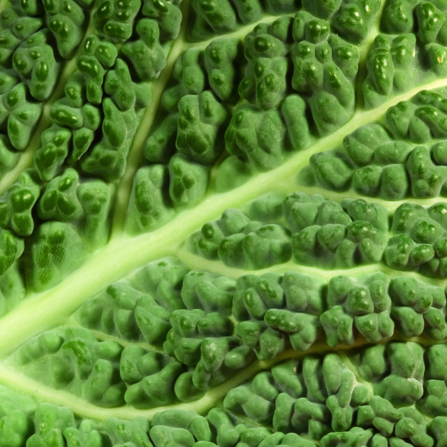 """Cabbage leaf"" stock image"